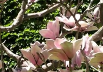 Embedded thumbnail for 2007 Public Art Network Year in Review: Magnolias for Pittsburgh
